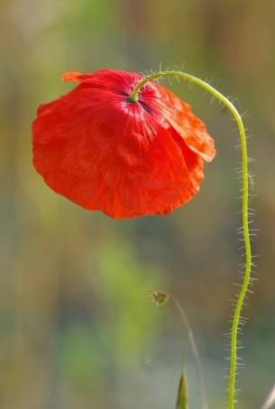 Bilder und Wissenswertes zu einer weit verbreiteten Wildblume, die besonders im Juni durch ihre leuchtend roten Blütenblätter auffällt