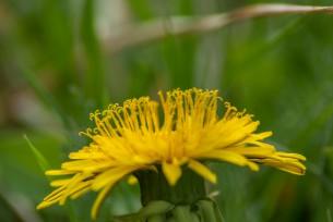 Löwenzahnmonat April - unzählige Fotomotive auf einer einzigen Wiese